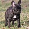 Frenchie puppies for sale