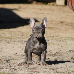 french bulldog puppies florida