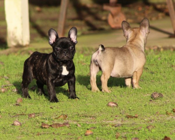 french bulldog puppies for sale,Purebred dogs for sale, purebred dogs near me
