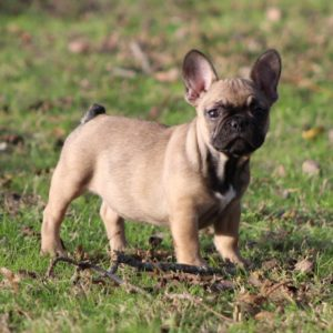 Baby french bulldog,french bulldog puppy for sale