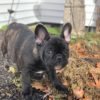 miniature french bulldog for sale